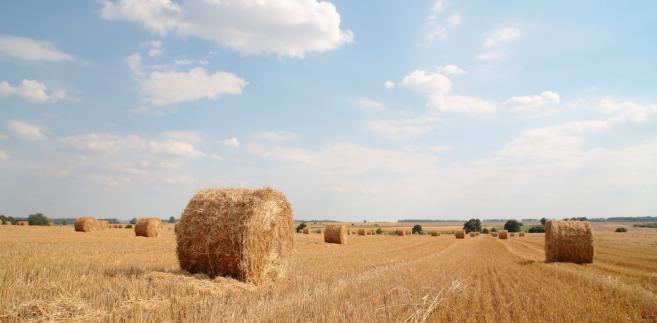 W tym roku średnia cena żyta jest prawie dwukrotnie wyższa niż przed rokiem.