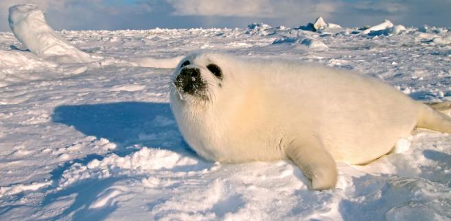 Foki mogą teraz ginąć tylko z rąk Eskimosów