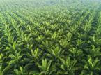Wojna o olej palmowy. Malezja skarży Brukselę do Światowej Organizacji Handlu