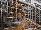 Główny Lekarz Weterynarii: ws. tygrysów: Polskie służby weterynaryjne wywiązały się z zadań. Lekarz graniczny otrzymał nagrodę