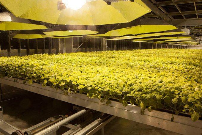 Do stworzenia szczepionki wykorzystuje się należącą do BAT technologię opartą o szybkorosnące rośliny tytoniu.