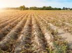 Rolnicy walczą z suszą i wirusem. Brakuje też rąk do pracy