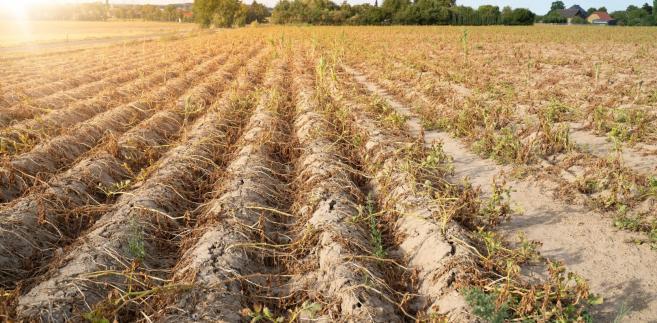 Ardanowski: 10 proc. rolników musi poczekać na wypłatę środków suszowych do nowelizacji...